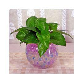 Money Plant (Epipremnum Aureum) Crystal Soil