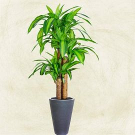 Artificial Dracaena Plants in Black Planter Pot Total Height 150cm