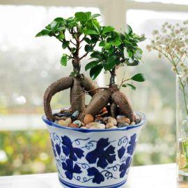 Bonsai Ginseng Ficus
