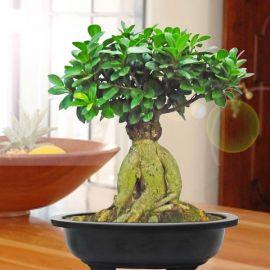 Ginseng Ficus Bonsai 50cm Height in Plastic Bonsai Pot