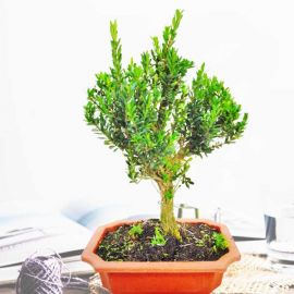 Bonsai Tree (Buxus sempervirens) 33cm height In Plastic Bonsai Pot