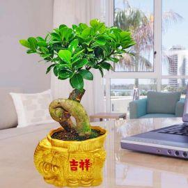Ginseng Ficus Bonsai 30cm Height 吉祥盆栽