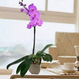 Live Phalaenopsis Purple Orchid In pot